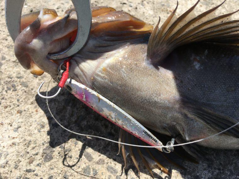 ジグパラショートで釣れたアイナメの写真