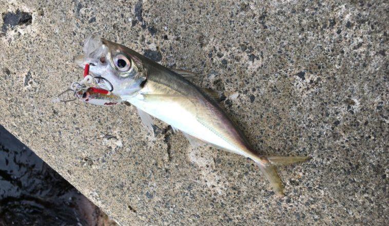 ショアジギングで釣れたアジの写真