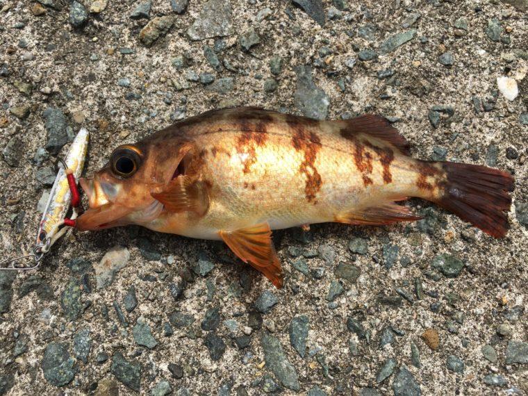 メタルジグで釣れたメバルの写真