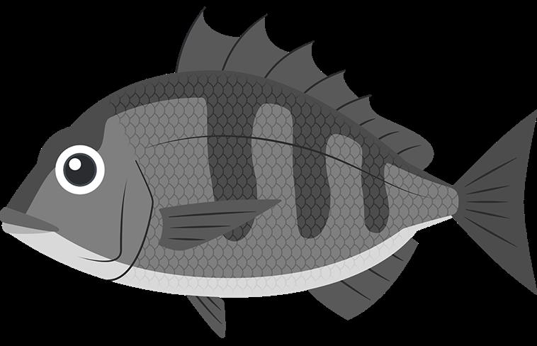 黒鯛のイラスト