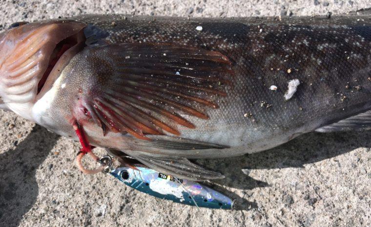 ブルーカラーのルアーで釣れたアイナメの写真