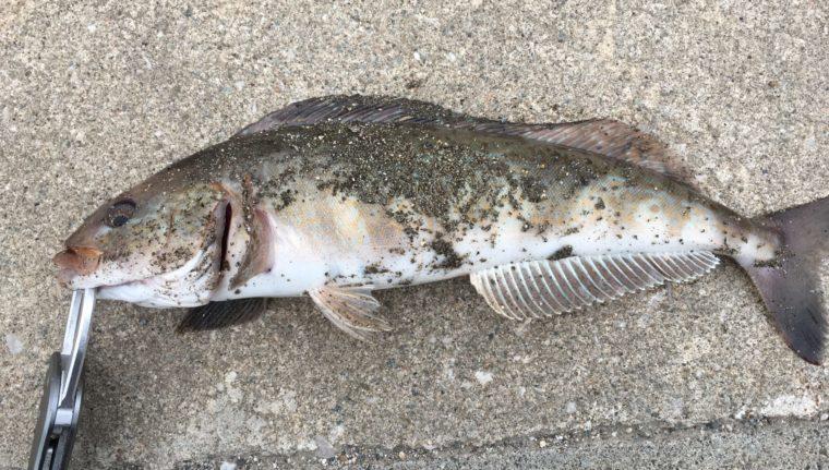 塗装の剥がれたメタルアディクト|タイプゼロワンで釣れた魚の写真
