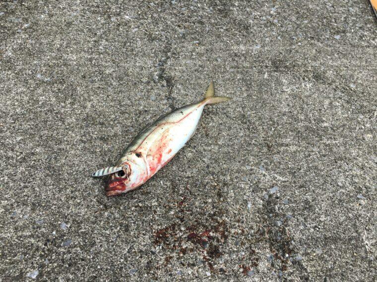 秋田北防波堤でアジングの釣果